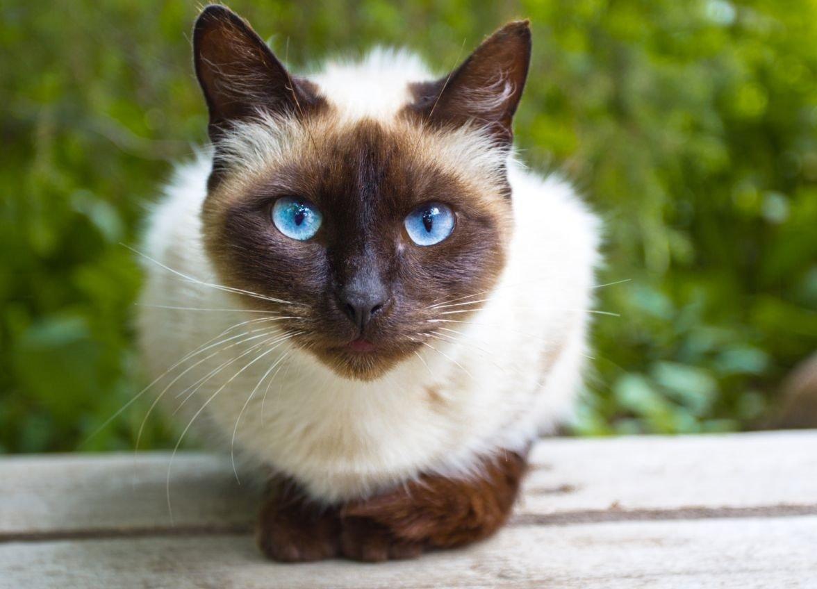 Картинки с сиамскими котами