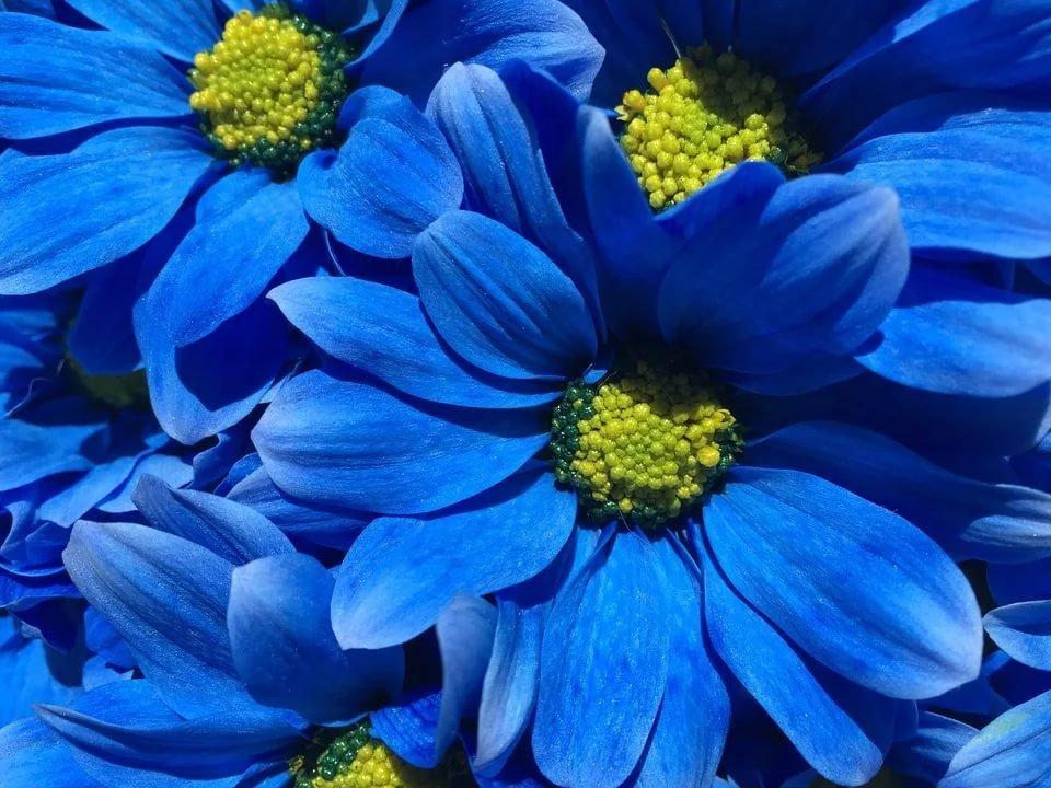 Красивые картинки с синими цветами