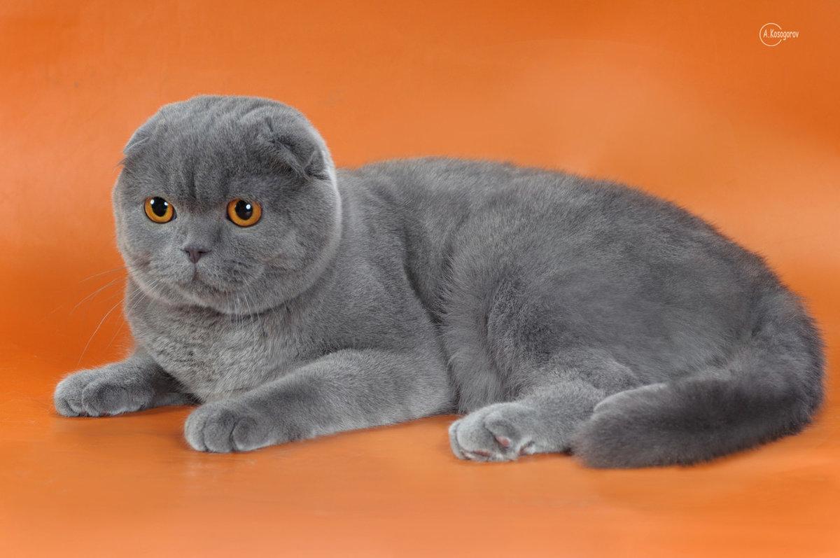 просьбе шотландцы фото кошки вислоухие велика