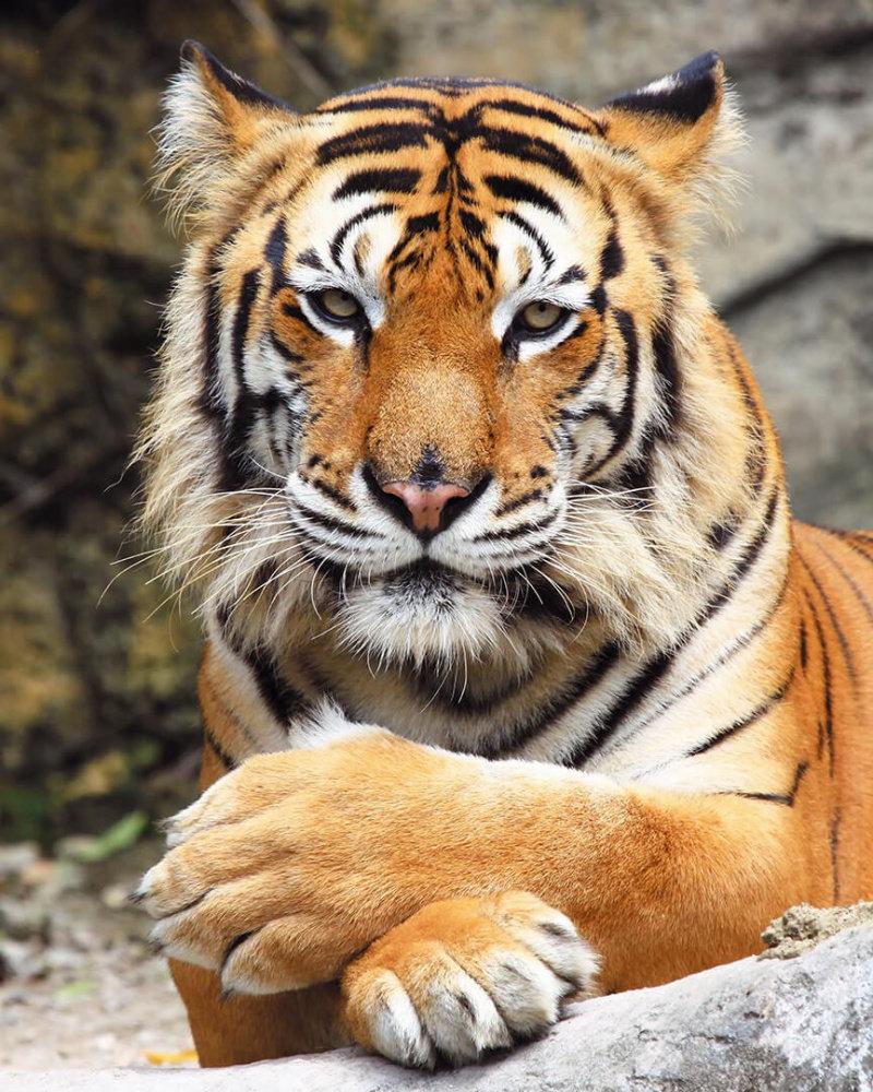 Морда тигра.