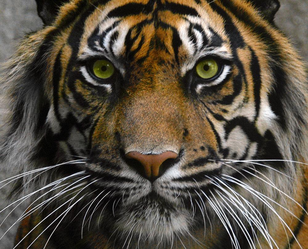 У тигра желтые глаза, на охоте и у водопоя они пропускают вперед самок и тигрят, спокойно дожидаясь своей очереди, могут проплыть несколько километров .