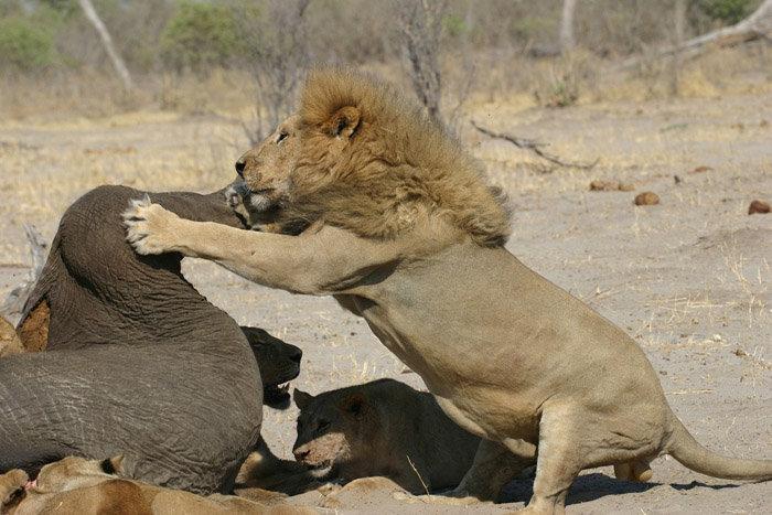 чем питается голодный лев