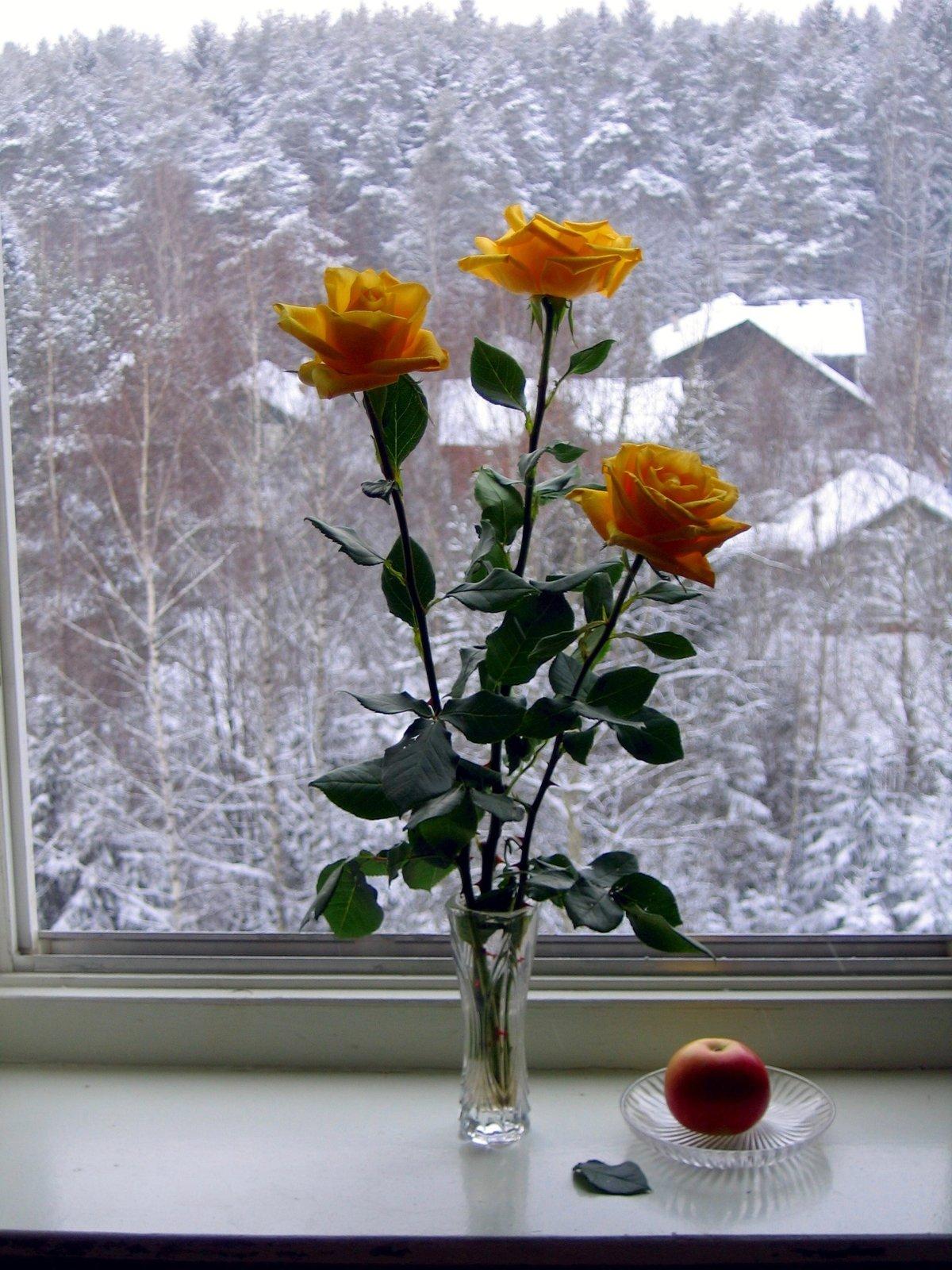 сегодняшний день картинка роза на подоконнике удобный календарь