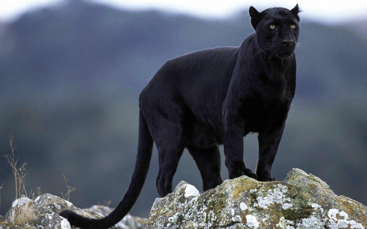 Первым, картинка на рабочий стол пантера черная