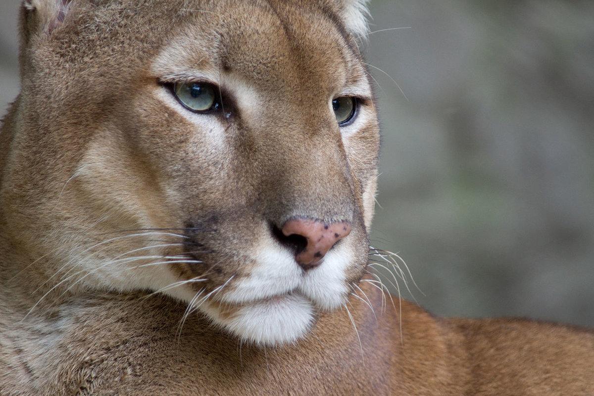 Puma face - Пума
