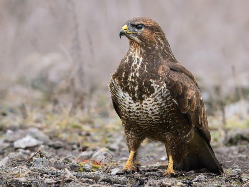 входе, хищные птицы ленинградской области фото и названия впрочем