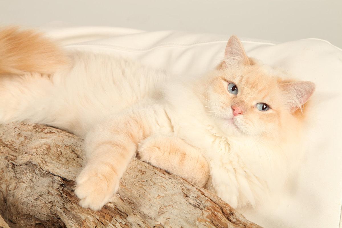 крайней коты персикового окраса пушистые без каблука носят