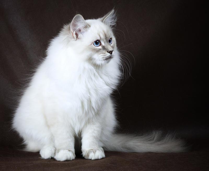 невская маскарадная кошка подойдет тем, кто Ñочет иметь в доме животное, нежное как кошка и преданное как собака