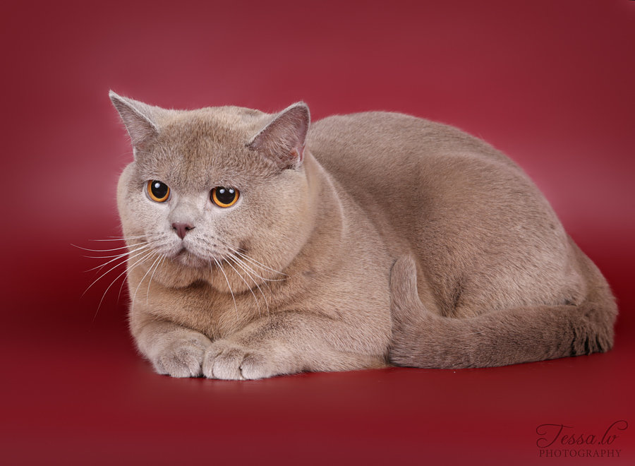 Кошки фото британцы короткошерстные