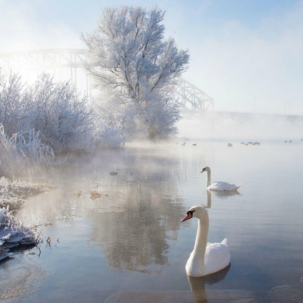Картинки доброе утро лебеди, юбилеем