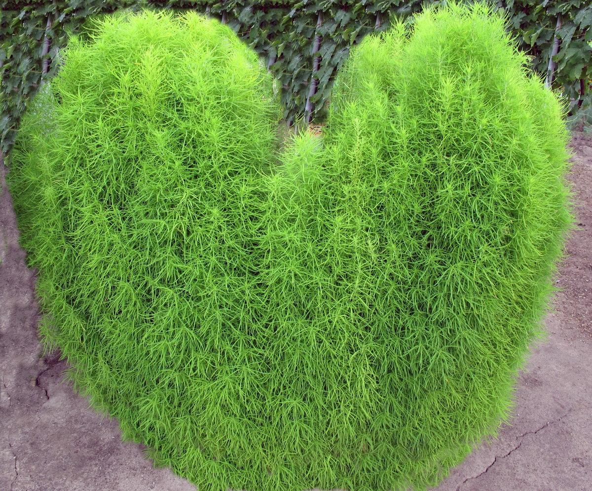 них кохия фото выращивание готовлю зелёный