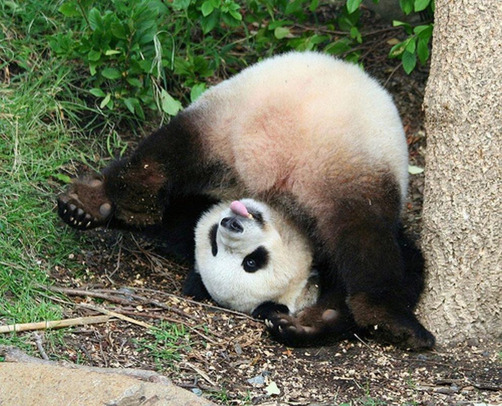 Картинки приколы с пандами, картинки