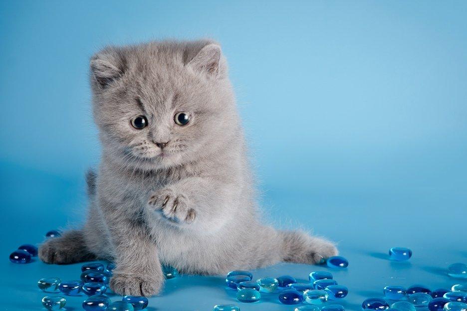 Картинки британского котенка