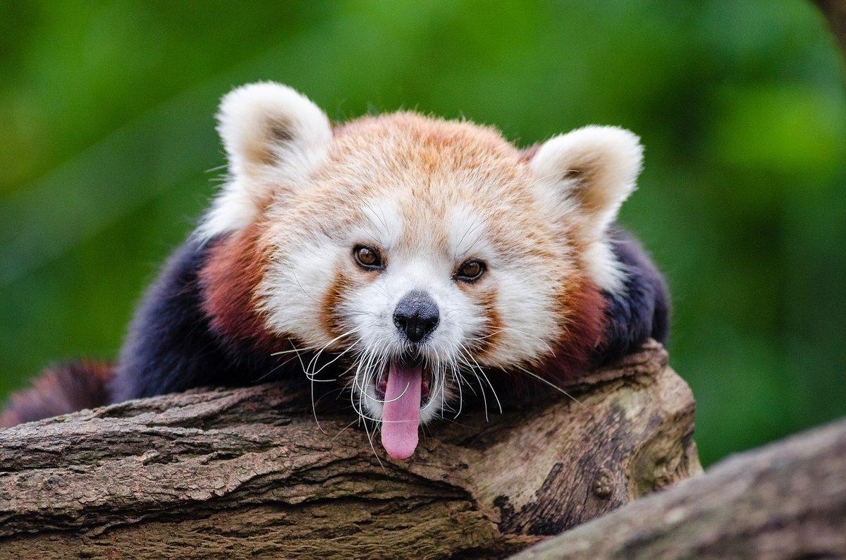 Малая панда зевает.