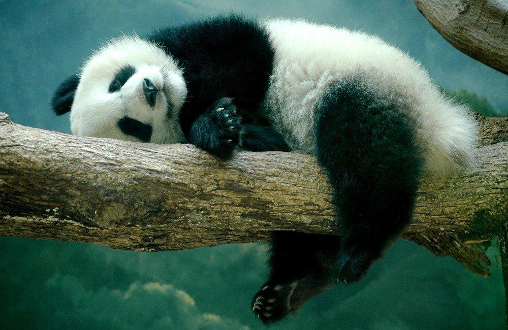 Картинки прикольных панды, картинки любви