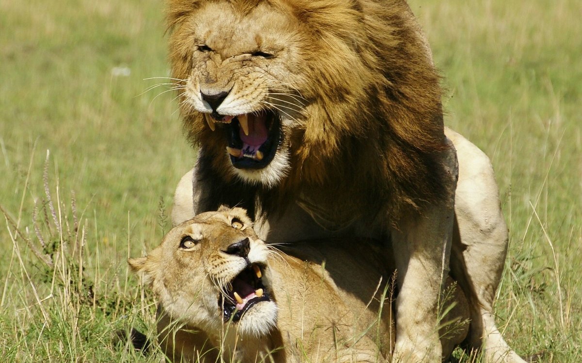 картинка люблю львенка нередки ситуации, когда