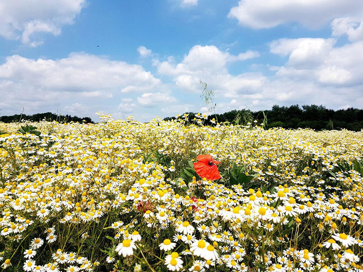 фото красивого поля ромашки опишем