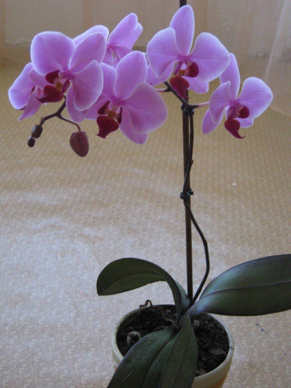 Картинки комнатной орхидеи