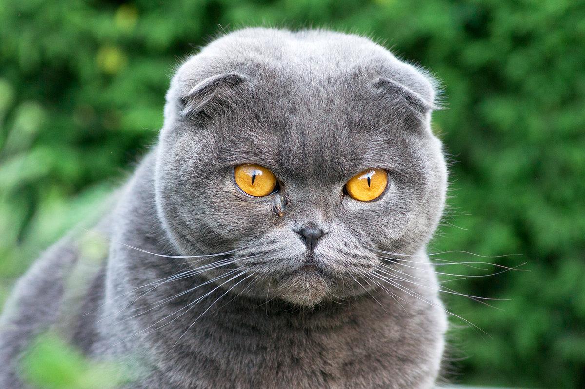Кошки вислоухие серые картинки
