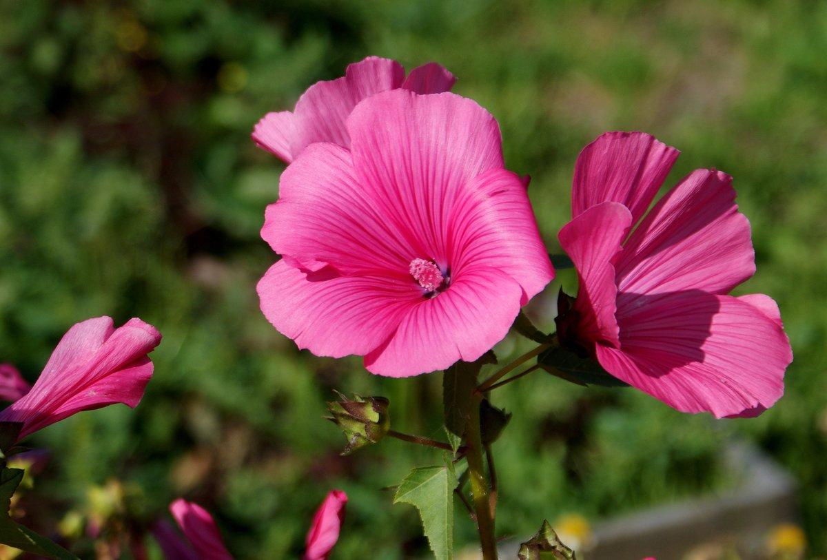 цветы лаватера фото состав