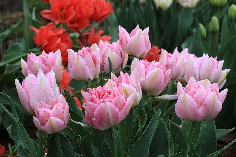 Фото пионных тюльпанов