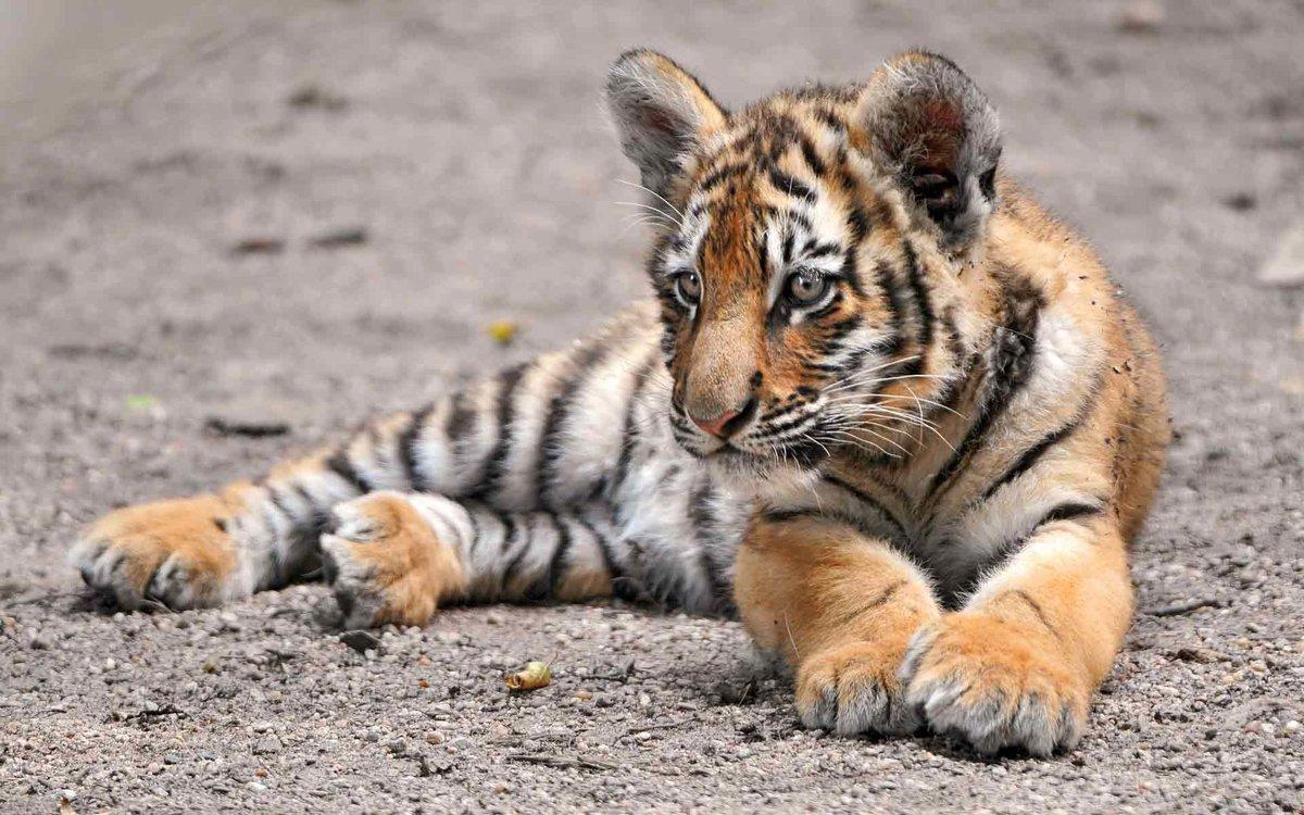 Фильмами, картинки тигренок