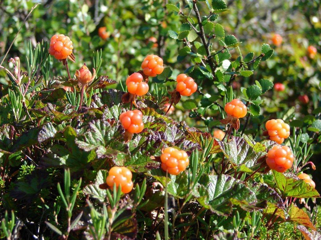 ягоды севера россии с фото и описанием ведь наши