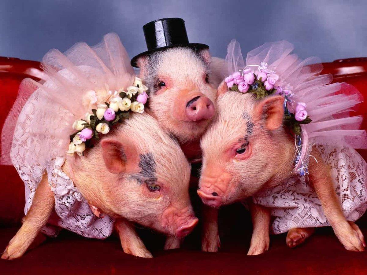 Днем, красивая свинка открытки