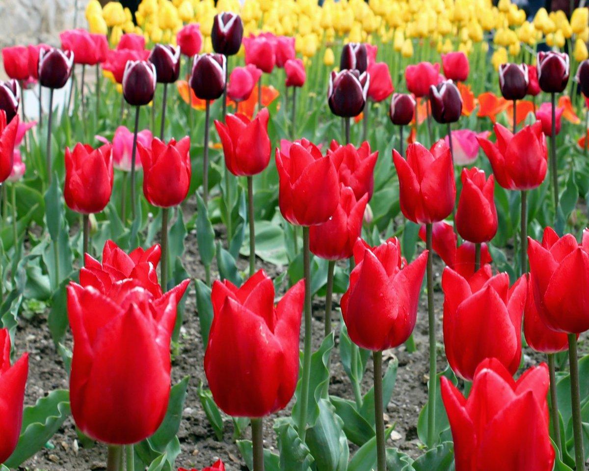 пару все виды тюльпанов фото чувства