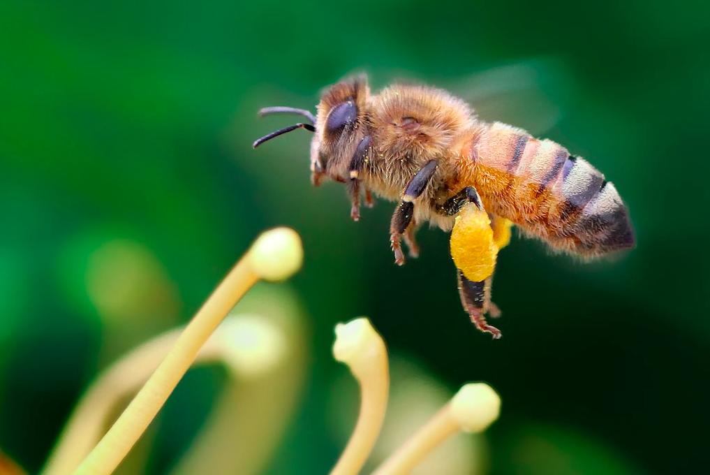 фото пчелы итальянки