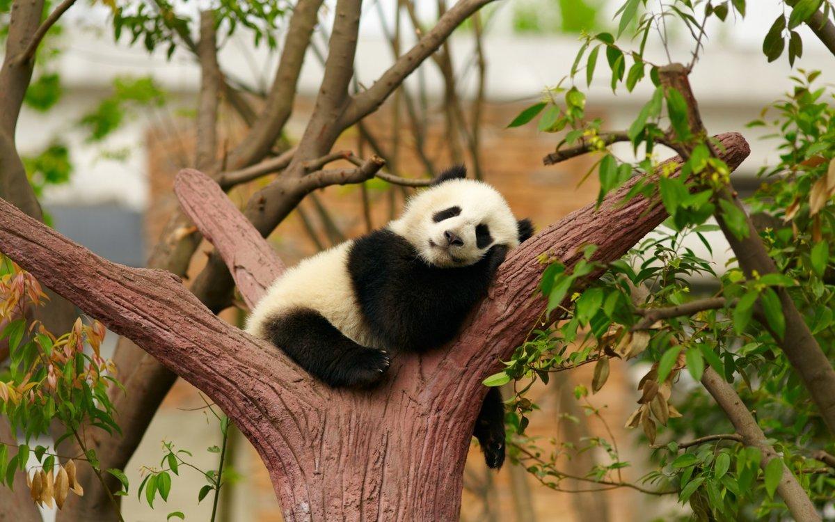 Открытки дню, смешны картинки про панд