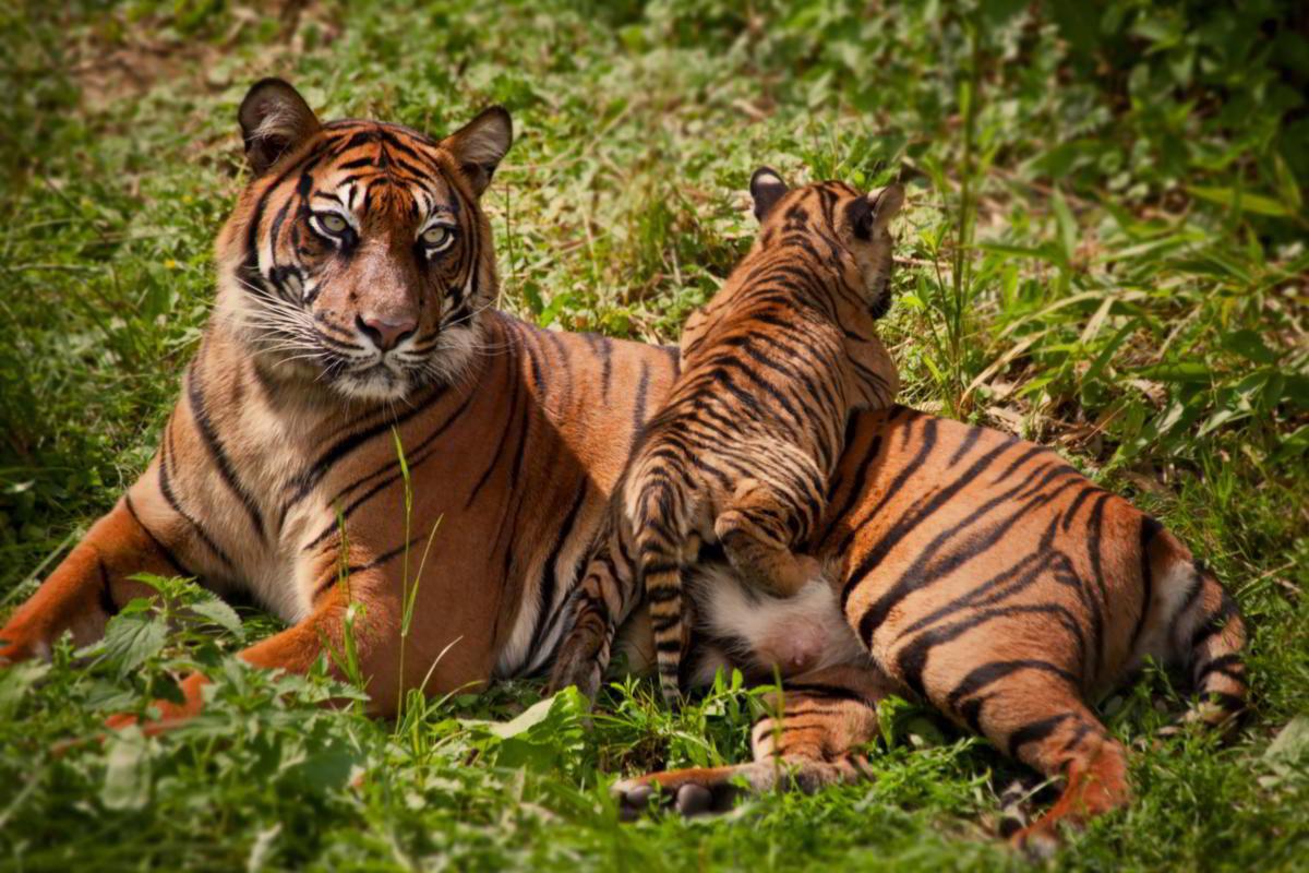 Днем рождения, тигр с тигрятами картинки