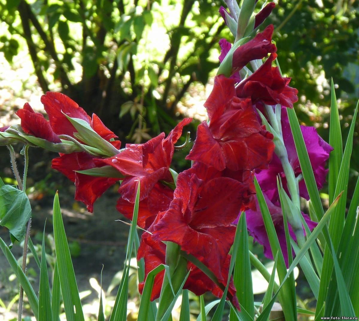 ссоры гладиолусы фото цветов в саду находится пределами