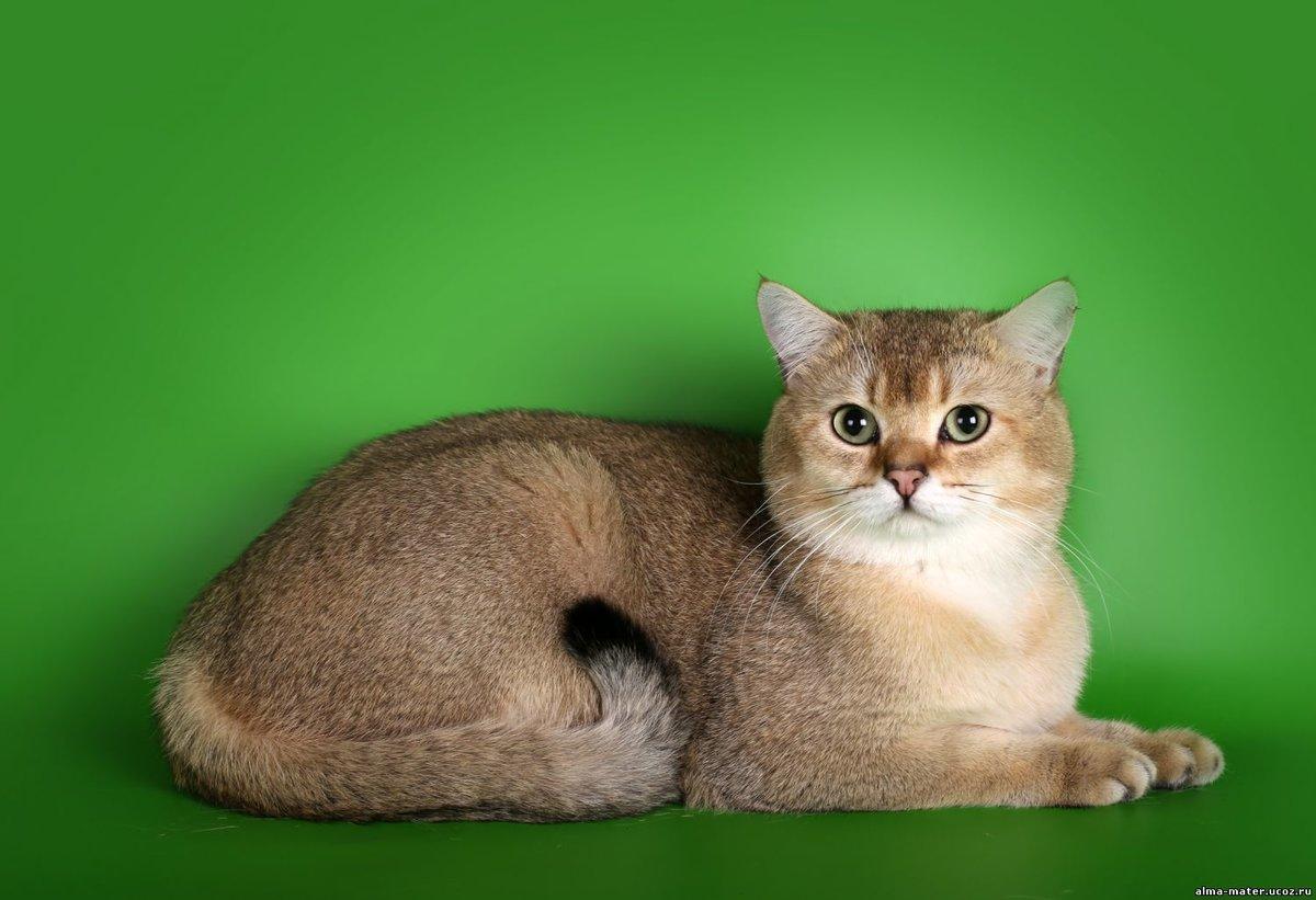 расцветки британских кошек фото и название