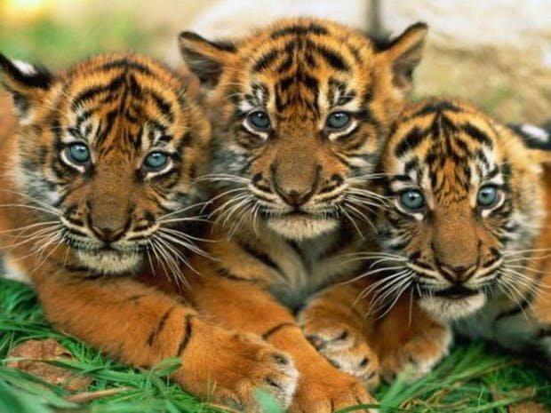 Три тигренка.