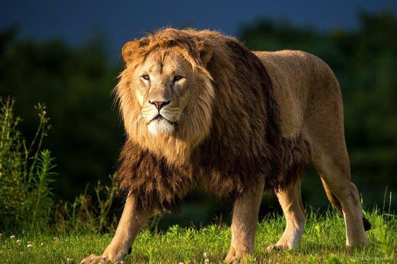 ЛЕВ Все мы восхищаемся мощью и красотой Царя зверей, сочетающего в себе идеальное соотношение силы и скорости. Этот хищник единственный, кому для охоты требуется команда, но загнать жертву, большую по размеру – не проблема! Он мчится со скоростью в 50 км/час, несмотря на внушительный вес в 150-250 кг и способен перепрыгнуть через забор, удерживая в мощных клыках корову! В Кении жил агрессивный лев, убивший 135 человек.