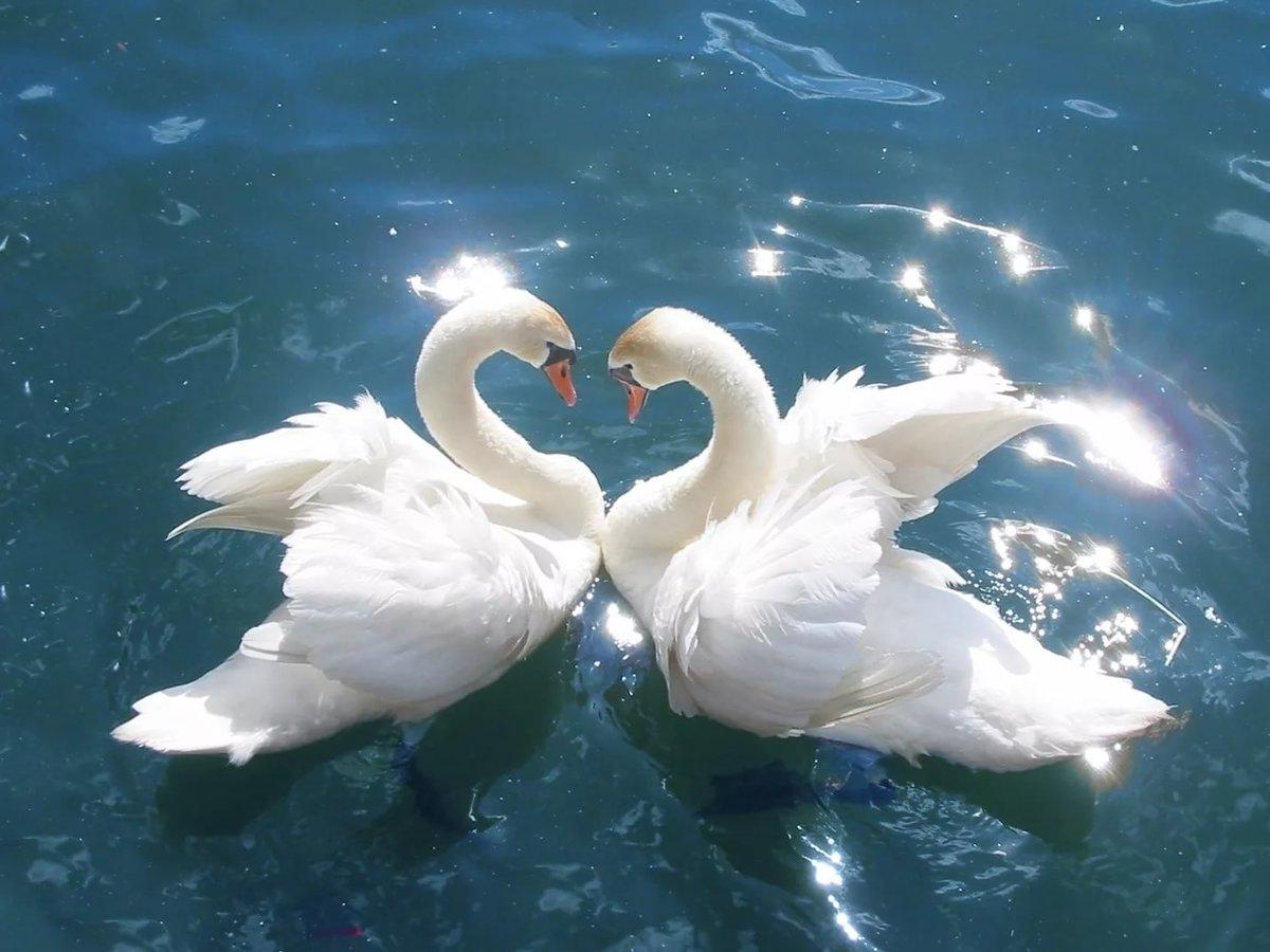 Лебеди картинки фото, днем рождения для