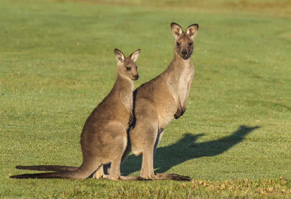 для кенгуру фото животного типажу