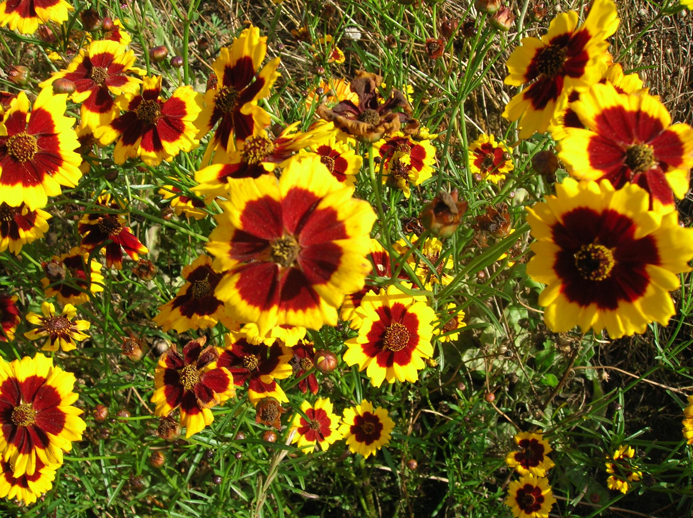 Садовые Однолетние Цветы Фото С Названиями