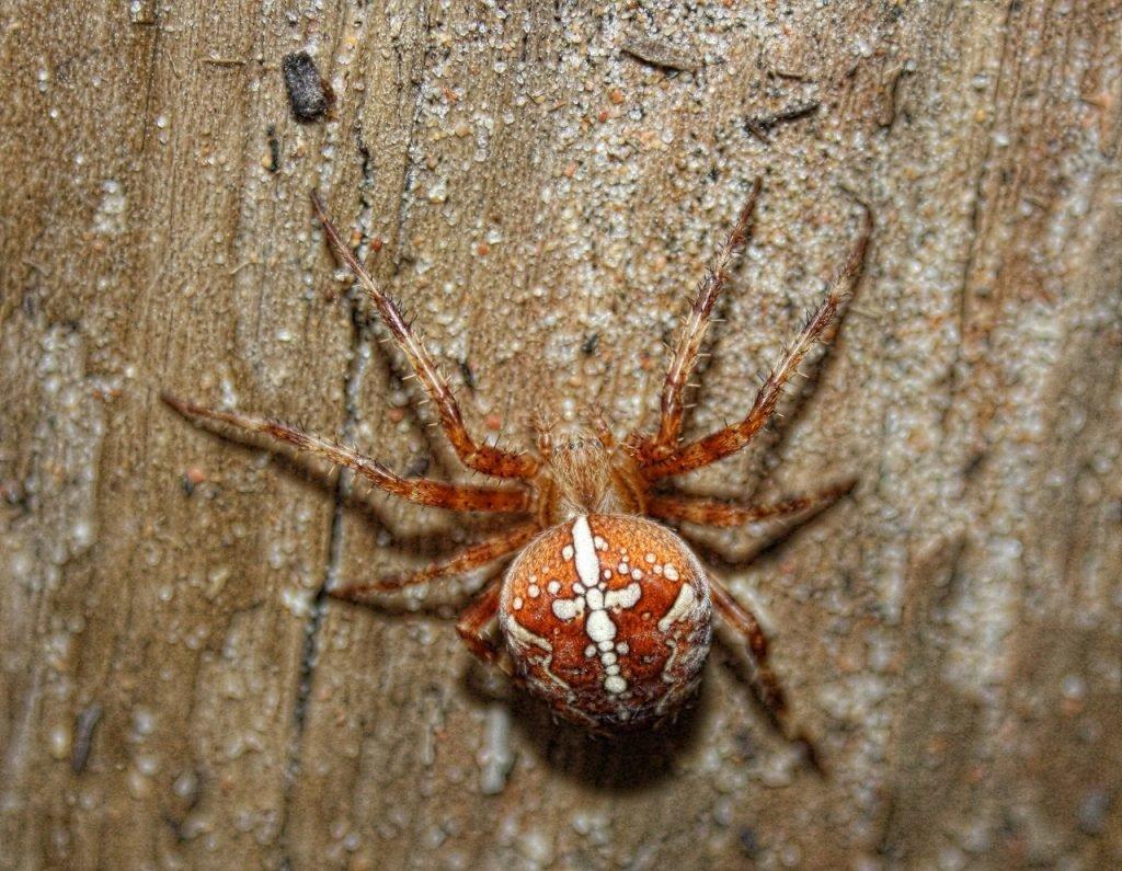 привлекает пауки фото крестовик моей