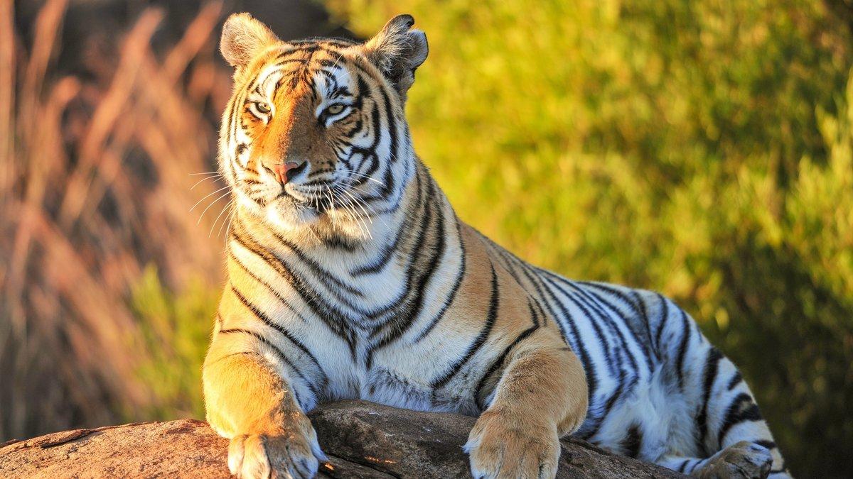 Сердце картинки, картинка с тиграми