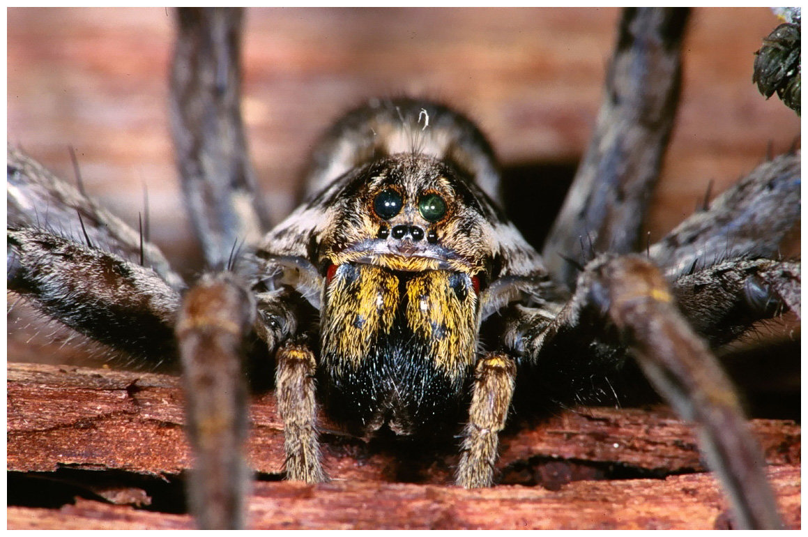 раж, показываете, пауки фото и характеристика бронзы