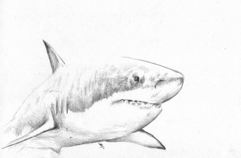 акулы картинки карандашом нашем каталоге