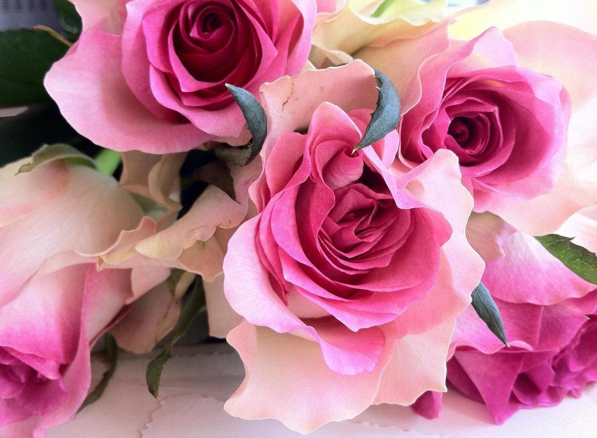 Фото сирийской сиреневые розы цветущей мечтал, что