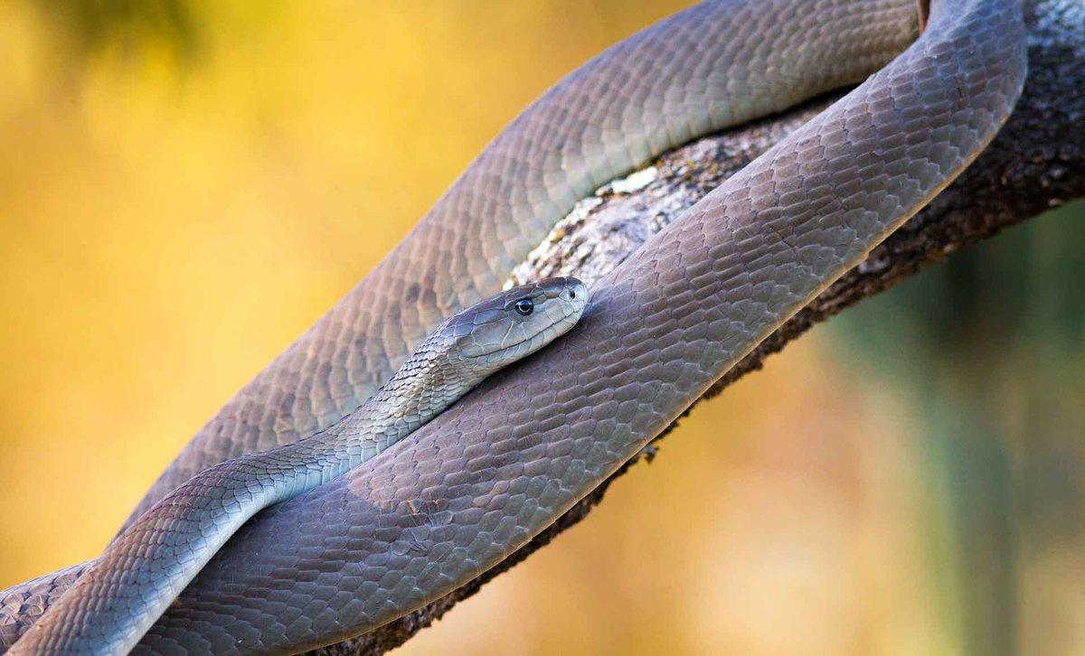 О ней черная мамба змея