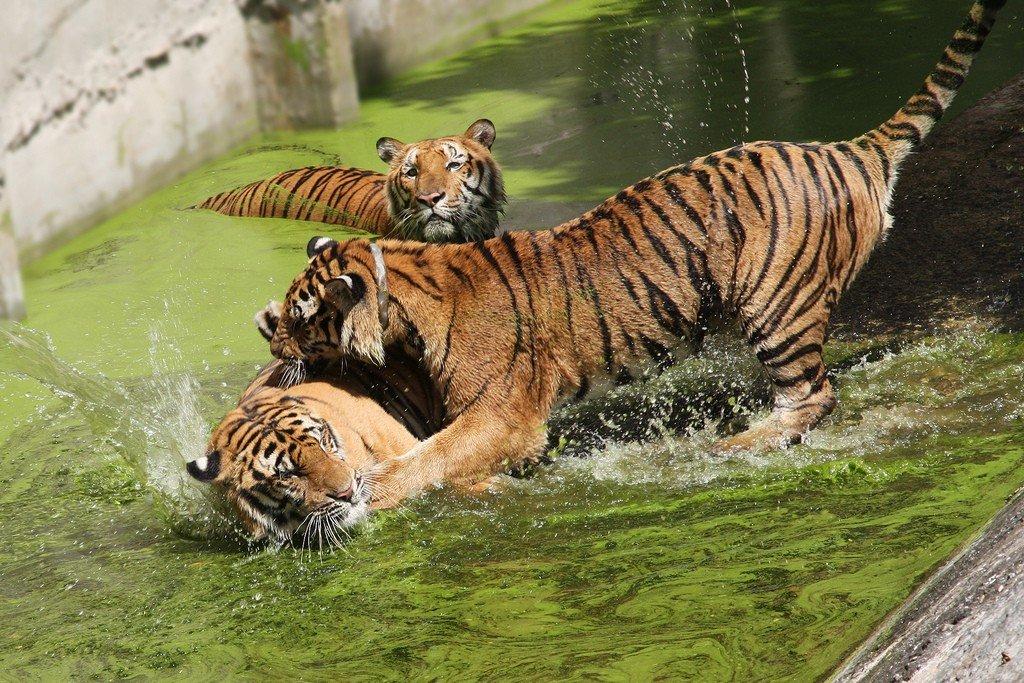 МонаÑи содержат здесь на данный момент шестнадцать тигров