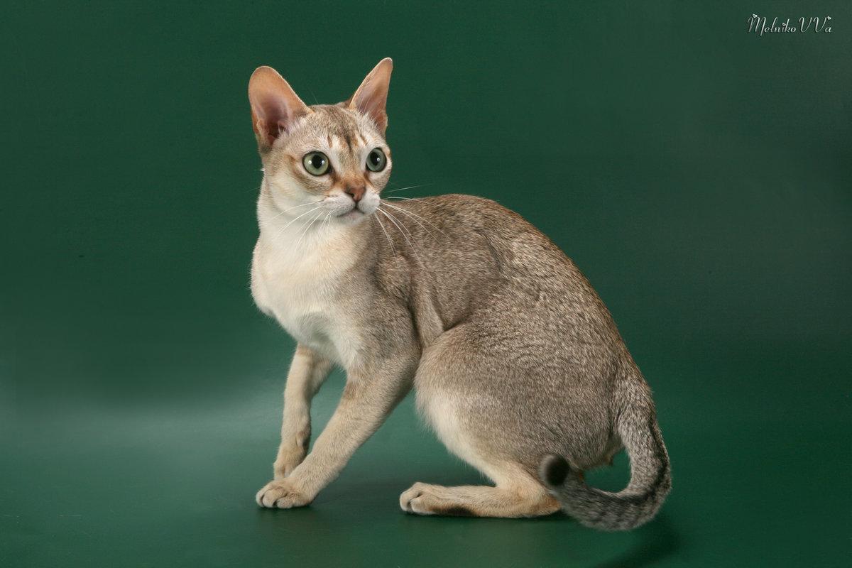Картинки кошки сингапурская