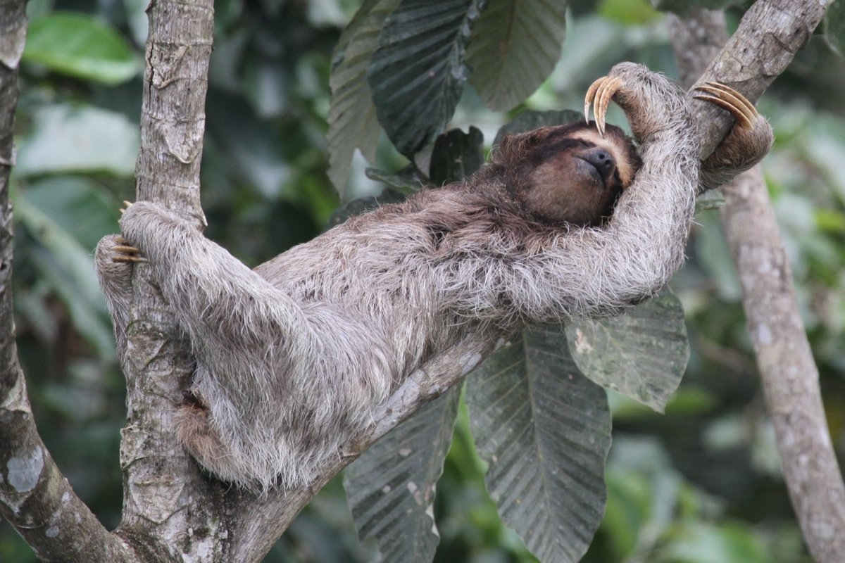 Крепкий сон ленивца