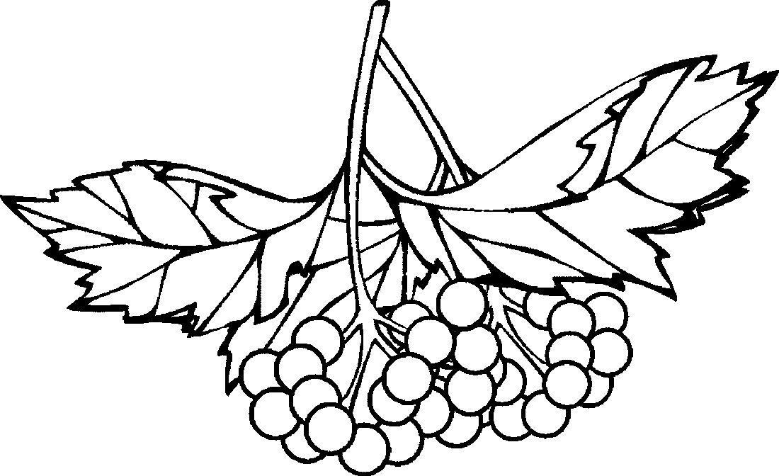 Раскраски гроздь рябины распечатать