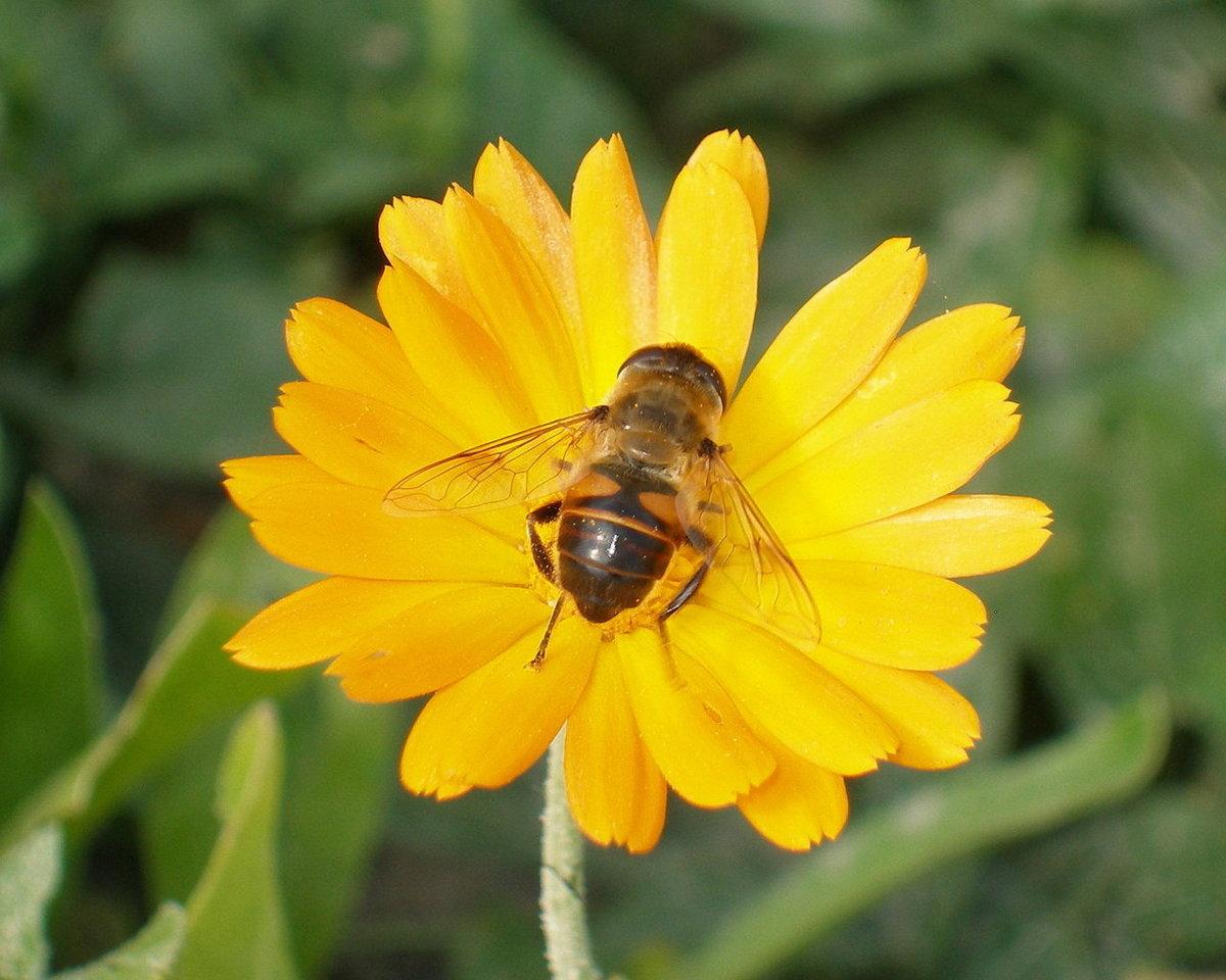фото цветы с пчелами пишу